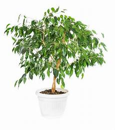 pflege ficus benjamini ficus benjamina tips and guidance for the best possible care