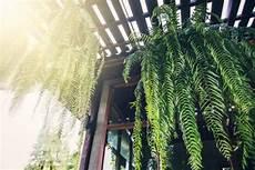 farn pflege draußen gr 252 ne luftreinigende zimmerpflanzen im portrait fresh