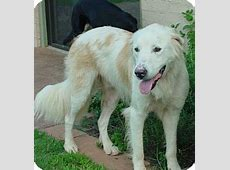 Teddy *Adopted   Adopted Dog   Tulsa, OK   Great Pyrenees