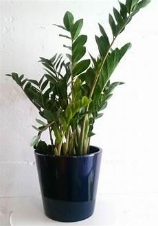 pflegeleichte zimmerpflanzen wenig licht zimmerpflanzen pflegeleicht und auch f 252 r anf 228 nger geeignet