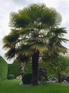 trachycarpus fortunei chinesische hanfpalme auf merloy 1
