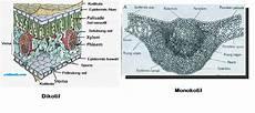 Gambar Struktur Daun Dikotil Dan Monokotil Berbagi Struktur