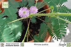 mimose pflanze kaufen echte mimose mimosa pudica fesaja versand