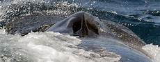 Gambar Ikan Paus Terbesar Hitam Putih Dari Jenis Orca