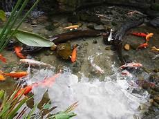 goldfisch haltung im teich how to build a backyard koi pond the garden and patio