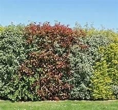cr 233 er une haie d arbustes persistants faire le bon choix