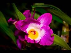 wie pflegt orchideen alles 252 ber orchideen wie pflege ich dendrobium nobile