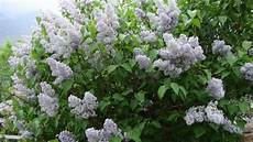 fiori profumati da giardino piante e fiori lill 224 dai grappoli profumati