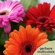 significato dei fiori gerbera significato della gerbera e come coltivarla florachic