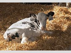 medicine for calves with pneumonia