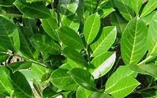 Prunus Laurocerasus Rotundifolia Laurier Palme