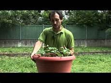 coltivare in vaso coltivare fragole in vaso