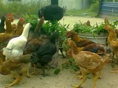 Ayam Kung Kami Ayam Ku Menjadi Kambing