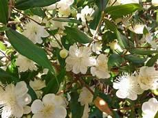 fiori di mirto di fiori forchette ottobre 2013