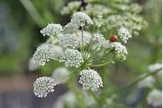 Poison Hemlock How To Identify And Potential Look Alikes