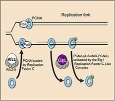 pcn9a the elg1 replication factor c like complex functions in