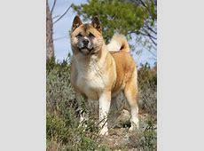 American Akita   Hund   Wesen, Erziehung und Eigenschaften