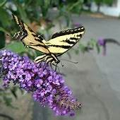 How Many Hours Of Sun Does A Butterfly Bush Need  EHow