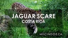 jaguar scares tourists in costa rica
