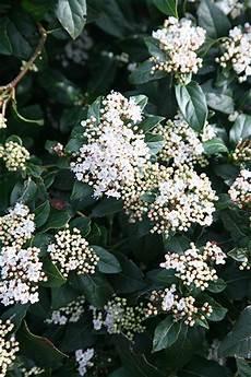 viburnum tinus winterhart buy laurustinus viburnum tinus white