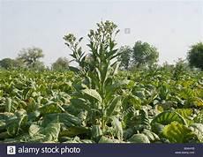 wo wird in deutschland tabak angebaut bidis stockfotos bidis bilder alamy