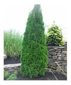 Arborvitae Emerald Green 6 B Country Arbors Nursery