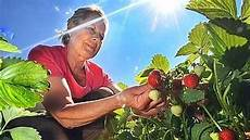 erdbeeren brauchen dieses jahr ein wenig l 228 nger