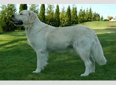 Dogs Info: Golden Retriever Dog