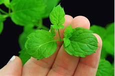 how to buy mint plants 11 steps wikihow