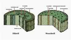 Materi Lengkap Kenali Perbedaan Tumbuhan Dikotil Dan