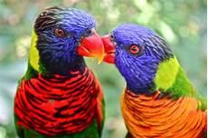 Flonimal Nesia Burung Nuri Pelangi Yang Berbulu Indah