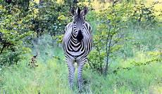 zebra bild chapman zebra foto bild africa southern africa world