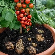 kartoffel tomaten pflanze tomaten kartoffelpflanze tomtato veredelt g 228 rtner