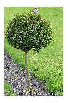 wann buchsbaum schneiden buchsbaum braune bl 228 tter hilfe mein buchsbaum bekommt