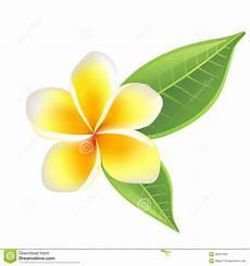 fiore frangipane fiore frangipane fotografia stock immagine 32951020