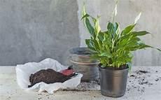 Pflanzen Die Die Luft Reinigen Luftreinigende Zimmerpflanzen Einblatt