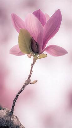 magnolia flower iphone wallpaper light purple flower tap to check out more stunningly