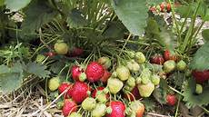 die erdbeeren kommen saison farmticker