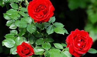 Image result for red rose bushes