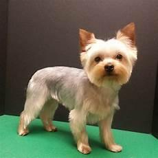 yorkshire terrier haircut pet trim yorkie groom grooming pets yorkie dogs yorkshire