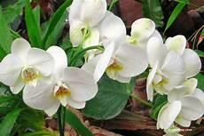 cymbidium orchideen pflege cymbidium orchidee pflege a z cymbidium zum bl 252 hen