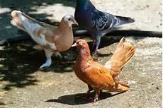 Intip 6 Cara Budidaya Burung Merpati Agrozine