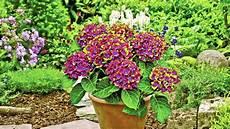 hortensien pflanzen f 252 r ihren garten