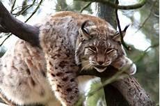 Le Lynx Du Canada