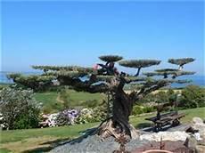 olivier nuage pas cher sp 233 cialiste de l olivier d ornement p 233 pini 232 re en ligne l