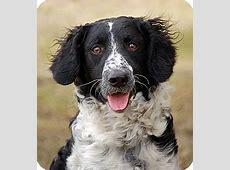 Apolo   Adopted Dog   Mora, MN   Springer Spaniel/Standard