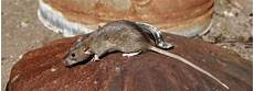 tips for preventing a rat infestation in gauteng debugged