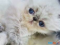 gatti persiani in vendita gattini persiani ed in vendita a cassino fr