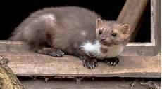 Mäuse Im Haus - abwehrm 246 glichkeiten gegen marder gvb hausinfo