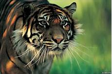 Gambar Harimau Jawa Gambar Keren Dan Unik Wallpaper